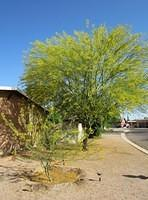 Big Palo Verde and its 3-year-old little sister