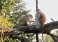 Woodland Park Zoo Patas Monkeys